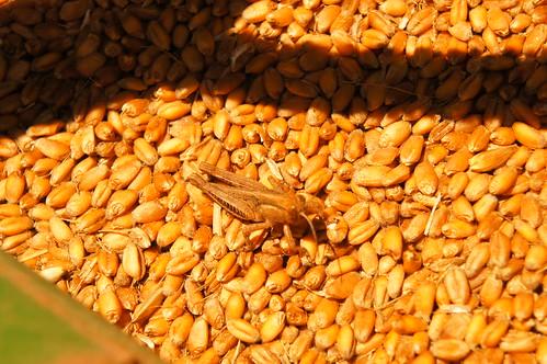 Emma:Oklahoma harvest 16