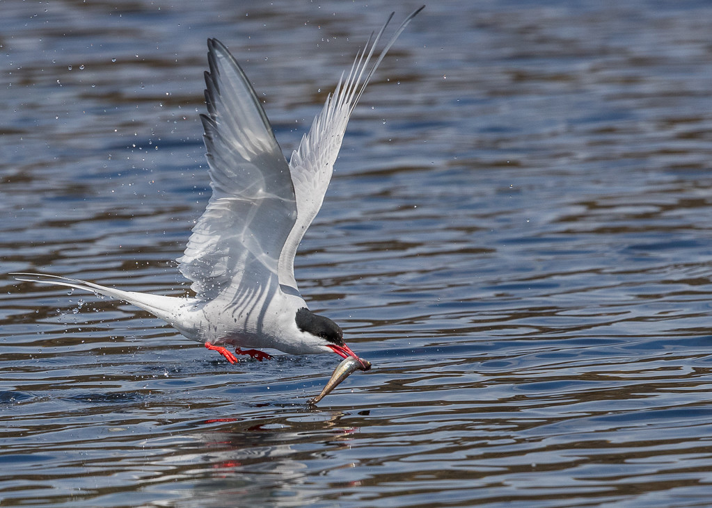 Arctic Tern  Isle of May,Scotland 2016