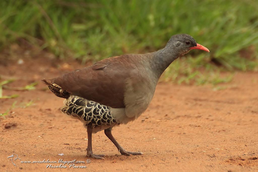 Tataupá común (Tataupa Tinamou) Crypturellus tataupa