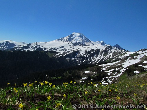 Glacier lilies along Skyline Divide, Mount Baker-Snoqualmie National Forest, Washington
