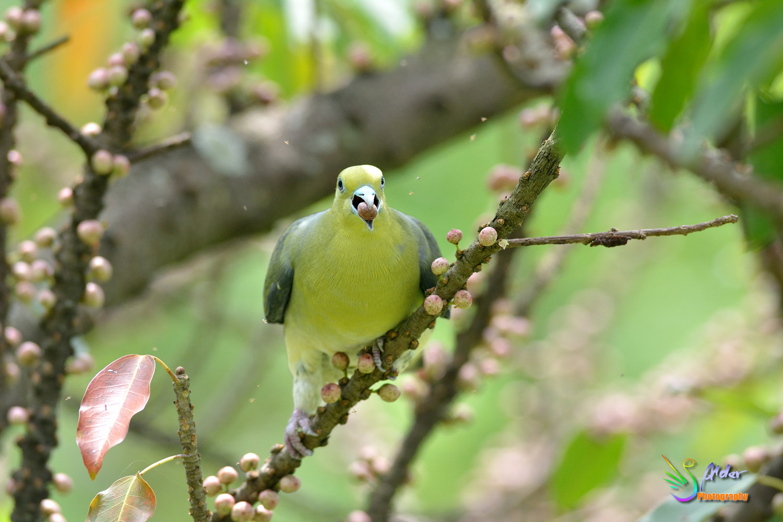 Japanese_Green_Pigeon_8692