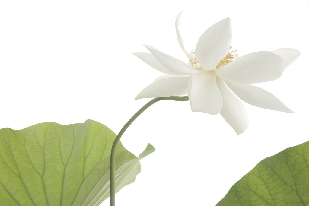 White lotus flower and leaves on-white