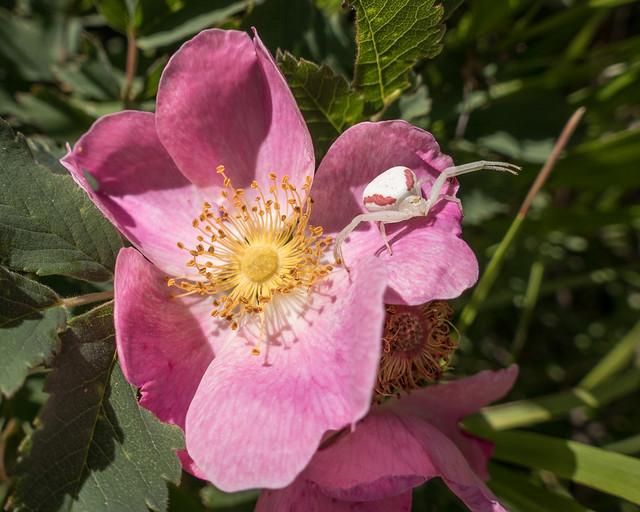 crab spider on wild rose