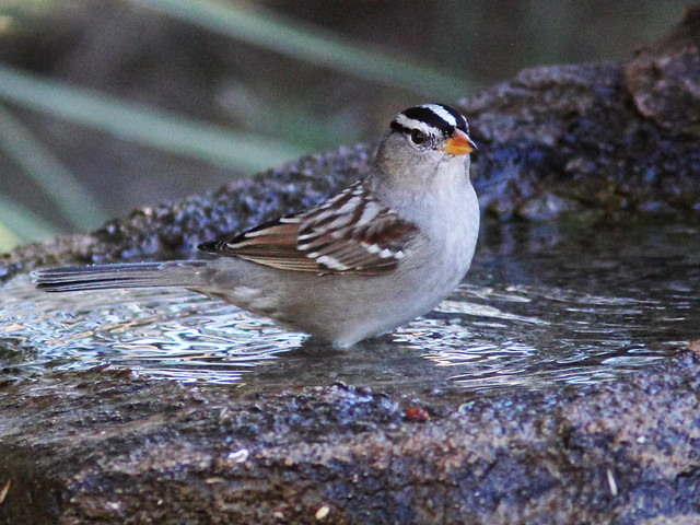 White-crowned Sparrow 3-20131102