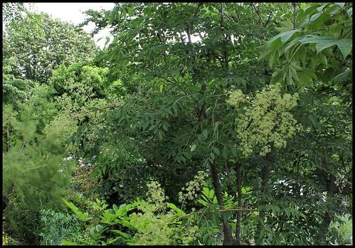 Aralia spinosa (2)