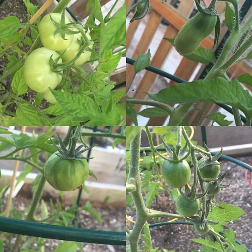 #tomatoes Coming soon