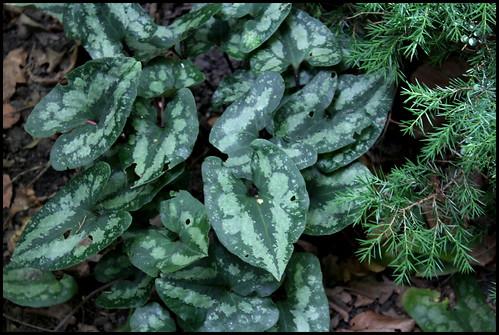 Asarum splendens (2)