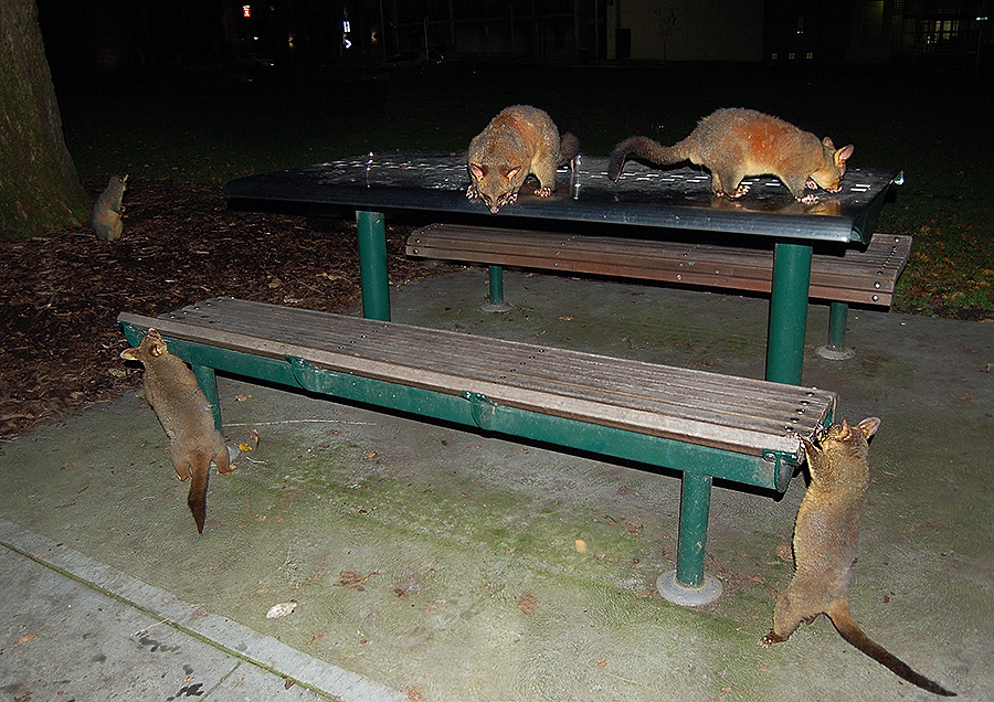 _possums_unimelb_1_