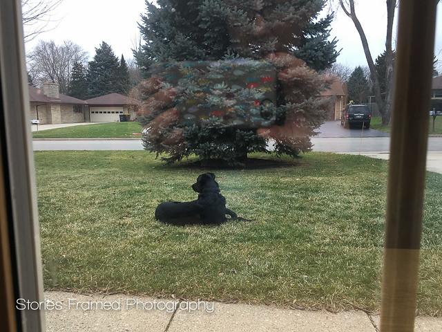 341. | casual guard dog.