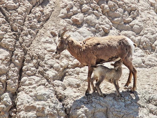 Bighorn ewe nursing lamb 20160618