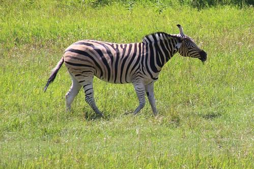 IMG_8052_Damara_Zebra