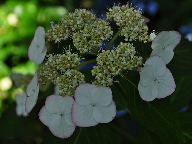 Hydrangea macrophylla serrata 'Kiyosumi' (2)