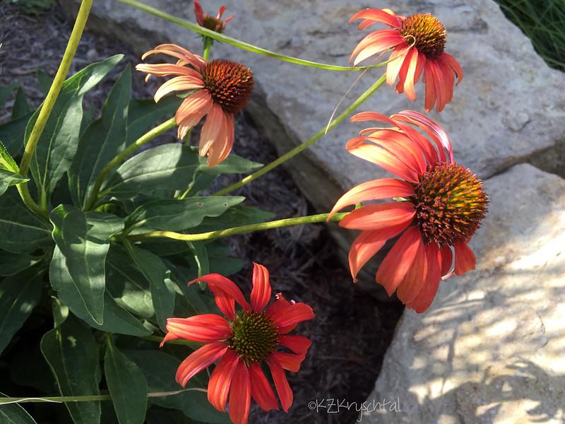 IMG_3116TomatoSoupConeflowers