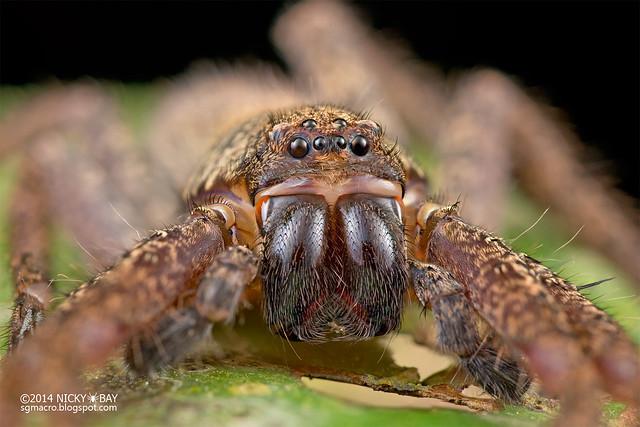 Huntsman spider (Heteropoda sp.) - DSC_0452