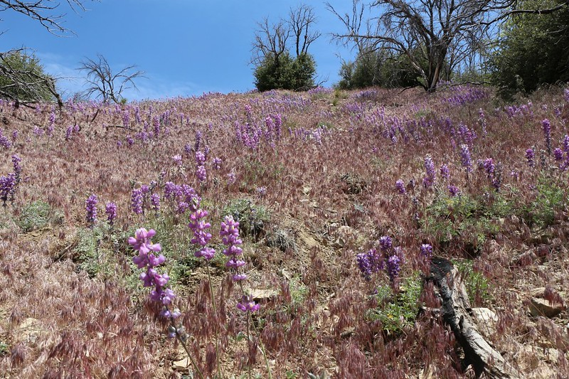 A hillside of Lupines blooming and grassheads nodding along the PCT