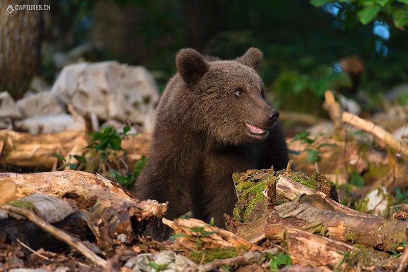 Brown bear 3 - Slovenia