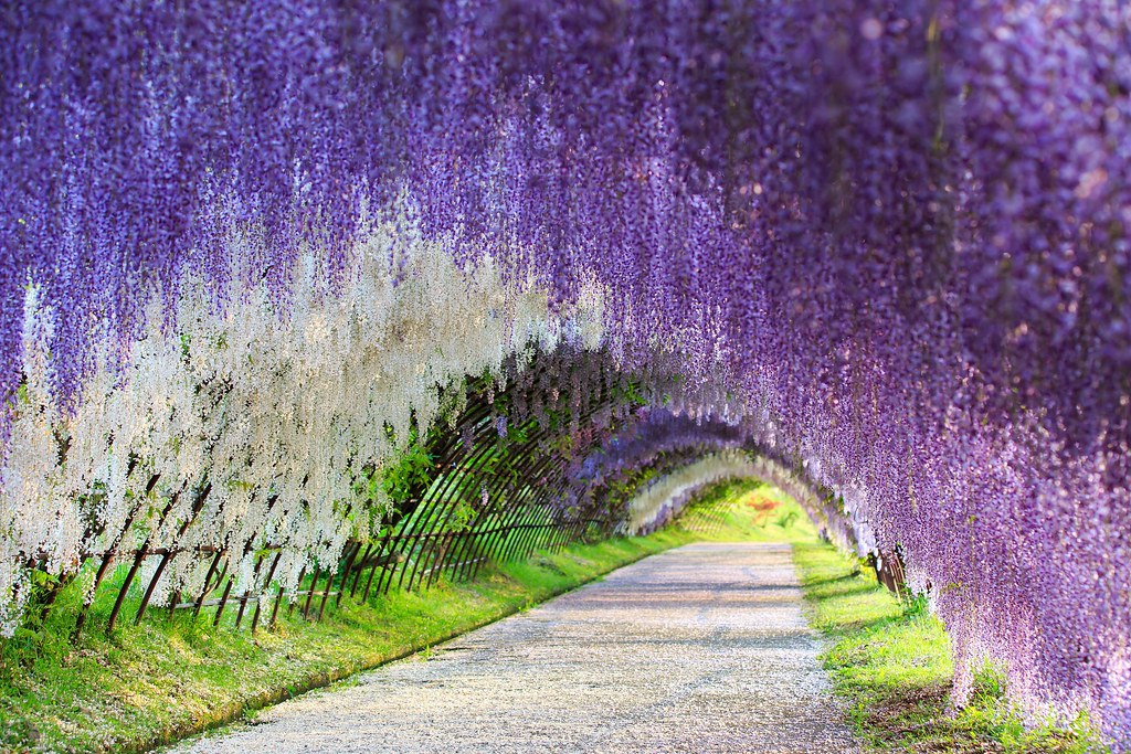 #Travel Run Through a Wisteria Flower Tunnel in Japan...