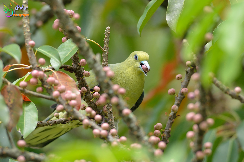 Japanese_Green_Pigeon_8636
