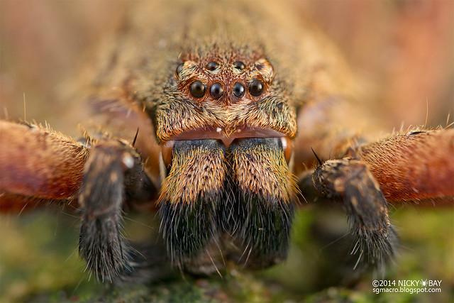 Huntsman spider (Heteropoda sp.) - DSC_2609
