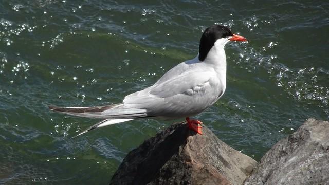 Tern on a Rock