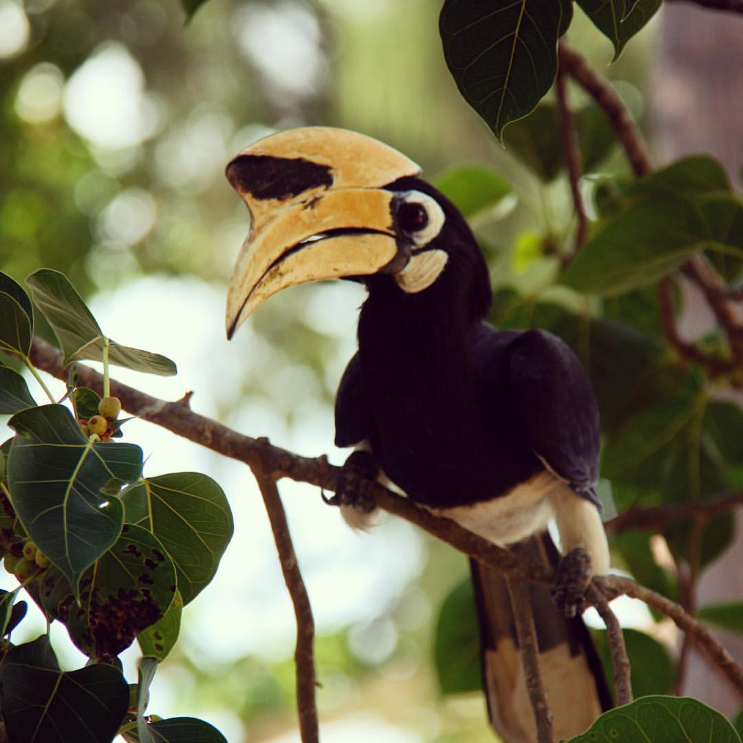 AROUND THE WORLD 2012 | #10 | THAILAND We had these rather tame hornbills visiting in the backyard of Koh Ngai Villa, our accommodation in Koh Ngai. They were so much fun to watch! #rtw #rtw365 #aroundtheworld #RTW2012 #aroundtheworldtrip #maailmanympäri