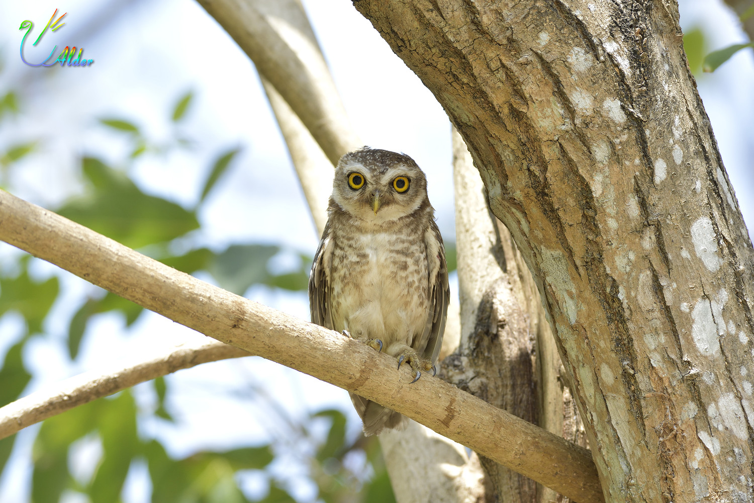 Spotted_Owlet_7038