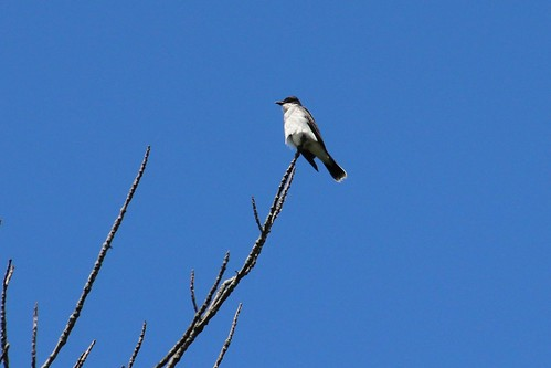 IMG_7915_Eastern_Kingbird