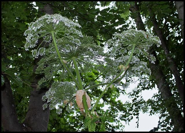Heracleum mantegazzianum (2)