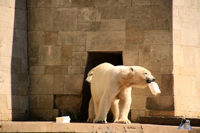Eisbär Fiete im Zoo Rostock 04.06.2016   0248