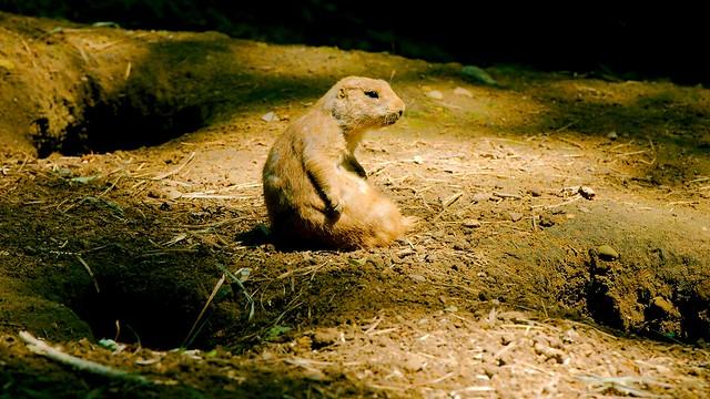 Black Tailed Prairie Dog_11