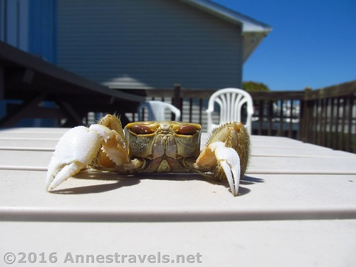 A (deceased) crab we found down on the beach - it was later given a burial in a