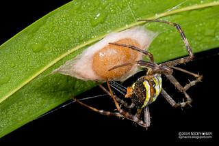 St Andrew's cross spider (Argiope versicolor) - DSC_0859