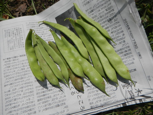 インゲンを収穫