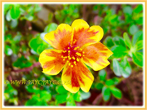Captivating Bicoloured Moss Rose in yellow and orange, 3 Aug. 2016