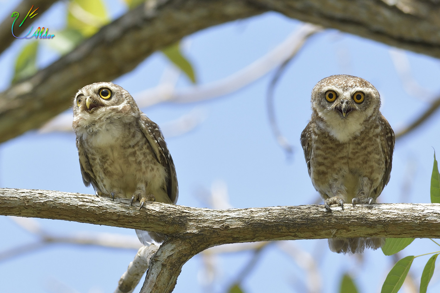 Spotted_Owlet_4430