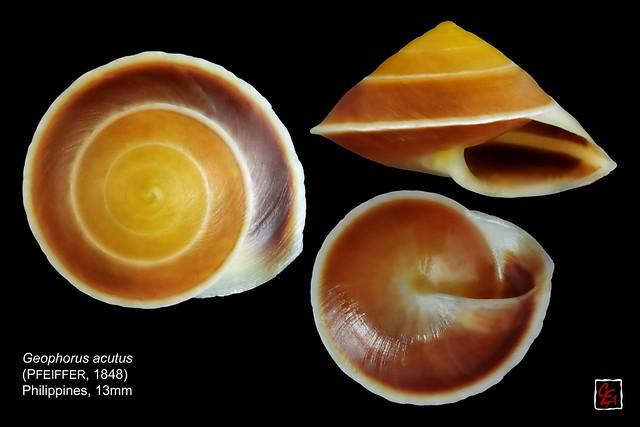 geophorus acutus philippines 13mm