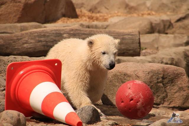 Eisbär Lili im Zoo am Meer 15.05.2016  239