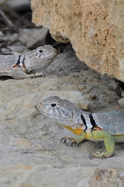 Eastern Collared Lizard #15