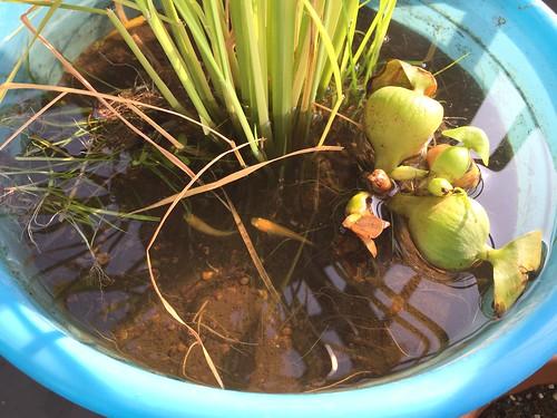 メダカちゃんをバケツ稲に移しました。