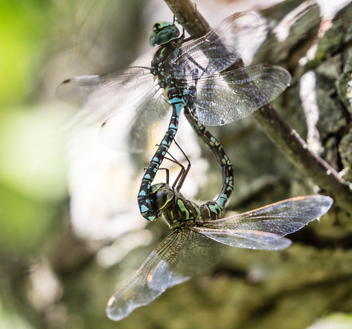 Where baby dragonflies come from