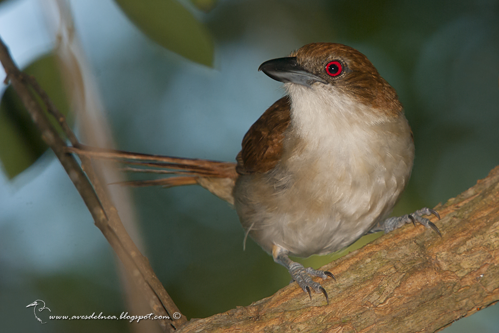 Chororó (Great-antshrike) Taraba major