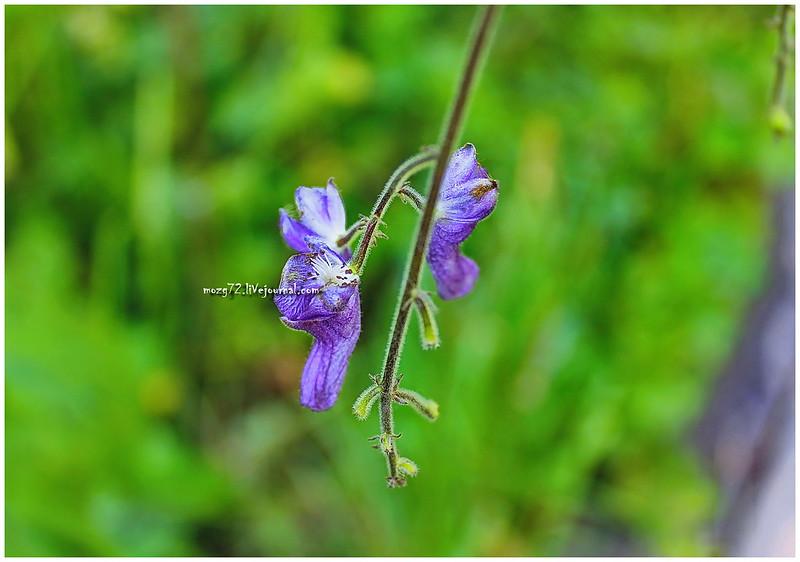 ...wild Orchid ridge Zyuratkul