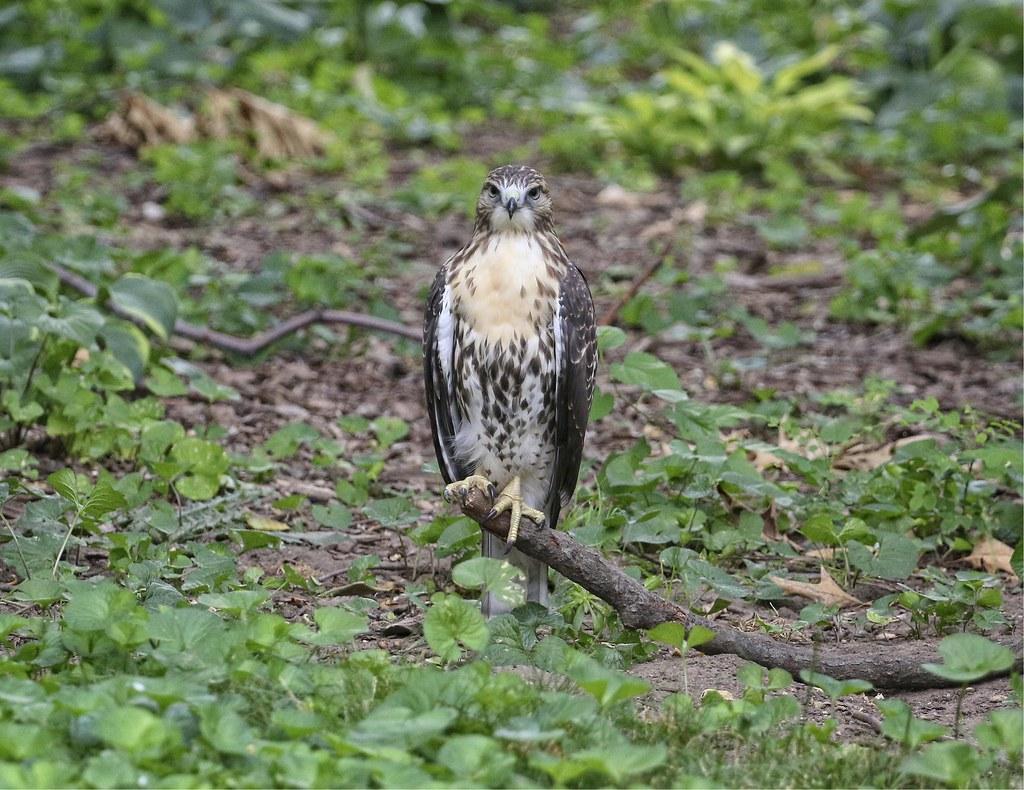 Hawk on a stick