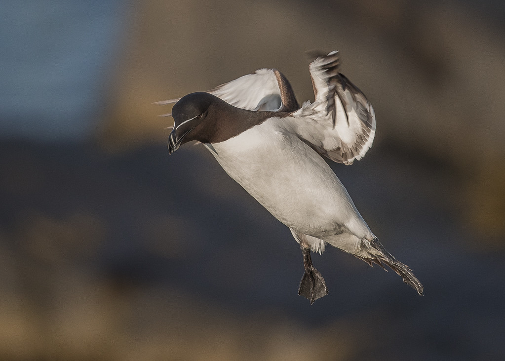 Razorbill   Isle of May,Scotland,2016
