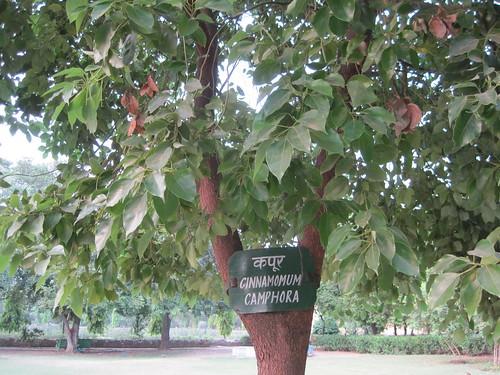 Cinnamomum tree