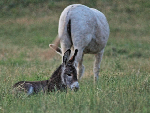 Wild Ass with suckling foal 2-20160616