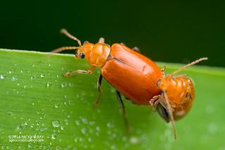 Leaf beetles (Aulacophora cf. indica) - DSC_1477