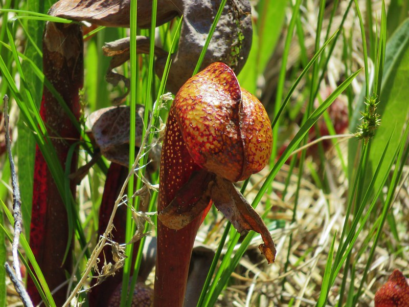 California pitcher plant (Darlingtonia californica)