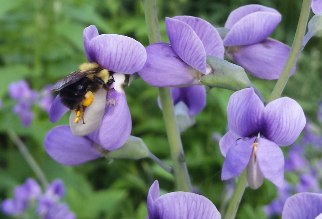 bumblebee with its head in a purple false indigo blossom