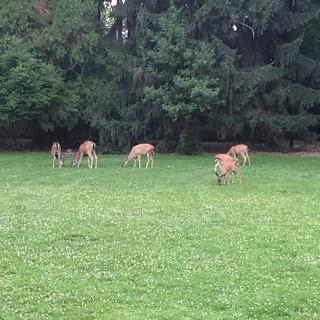deer in Lithia Park, Ashland Oregon 2 July 2016